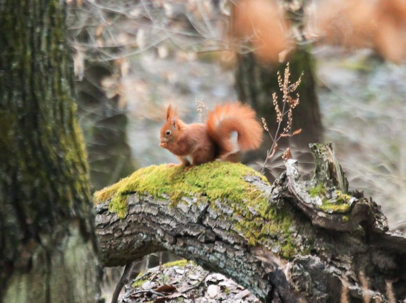Eichhörnchen im Wald über Königsbach-Deidesheim. Frohe Ostern. Foto © Lars O Larsson