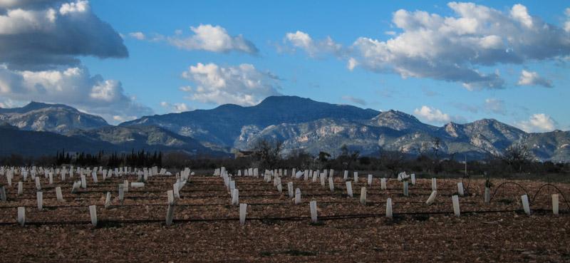 New vines @ Son Prim, Mallorca © Lars O Larsson