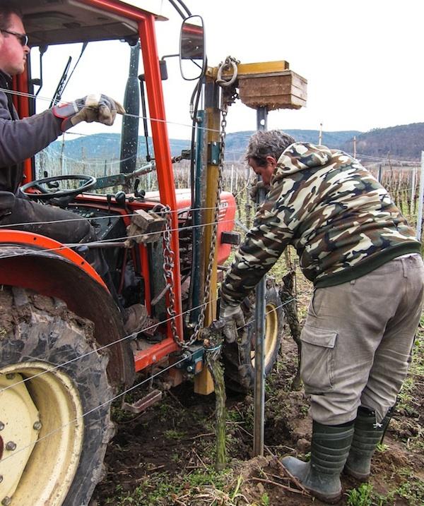 Der neue Weinbergspfahl wird in den Boden gerammt. Foto © Lars O Larsson