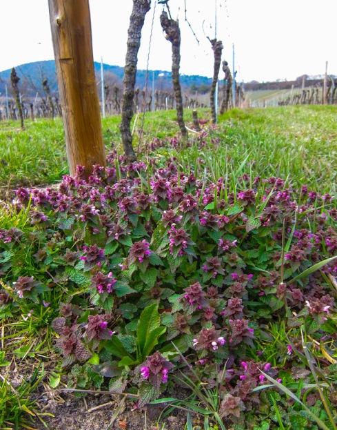 Blüten in den Weinbergen. © Foto Lars O Larsson