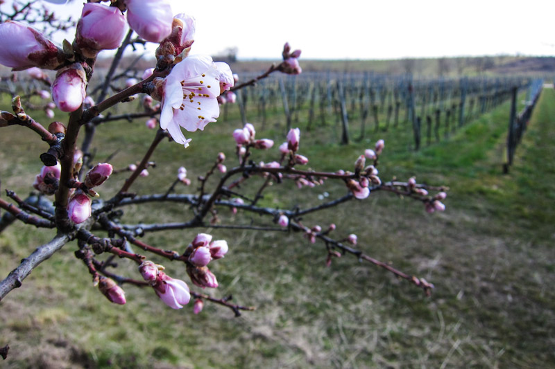 Pfalz-Impressionen. Mandelblüten. Gimmeldinger Biengarten. © foto Lars O Larsson