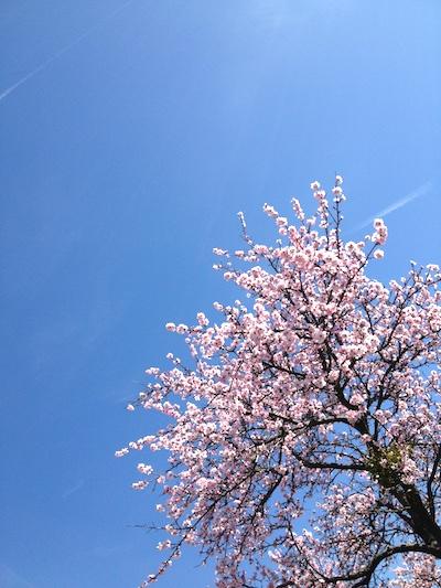 Blauer Himmel, rosa Mandelbaum im Birkweiler Kastanienbusch