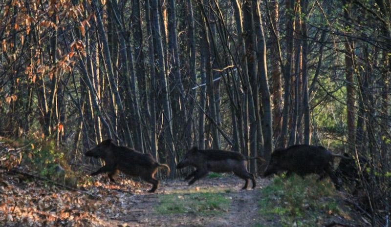 Eine Gruppe von 16 Wildschweinen, passieren den Weg ganz unmittelbar vor ihm. © Foto Lars O Larsson