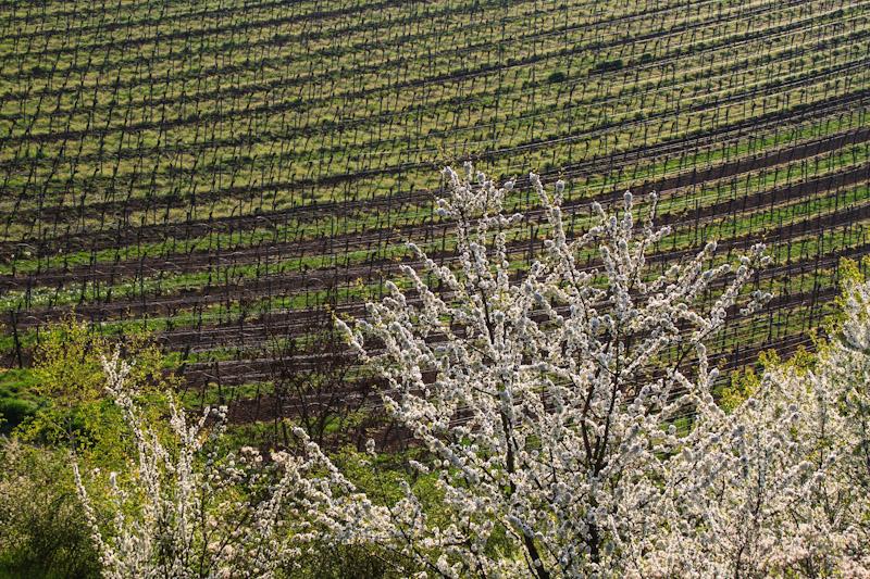 Frühling im Weinberg. © Foto Lars O Larsson
