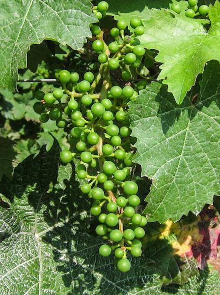 Summer in the vineyard