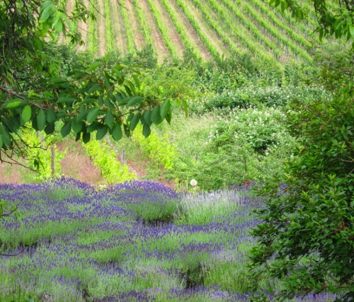 Lavendel im Gimmeldinger Biengarten © Lars Larsson, www.kingscreek.de