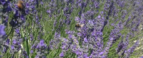 Wespen im Lavendel