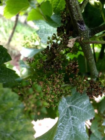 Peronospora, BR-Nett © pfalzweinproben.de